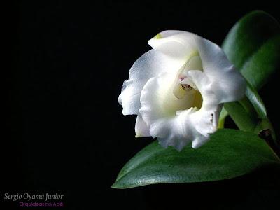 Mini-orquídea Laelia alaorii