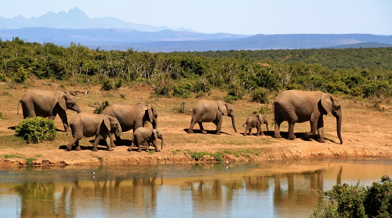 Elephants on Safari in Africa