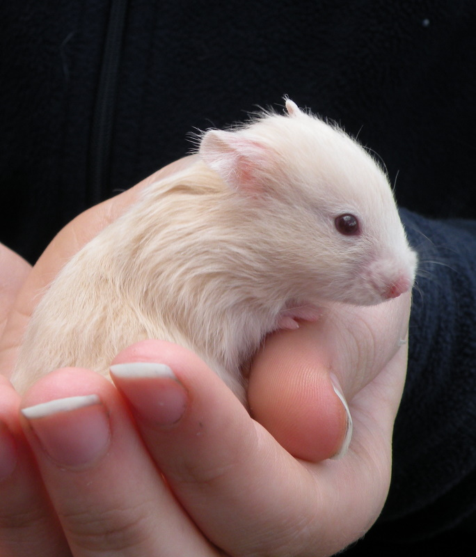 white dwarf hamster with red eyes - photo #9