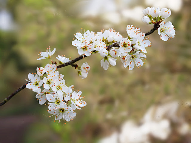 Twig of blackthorn laden with flowers