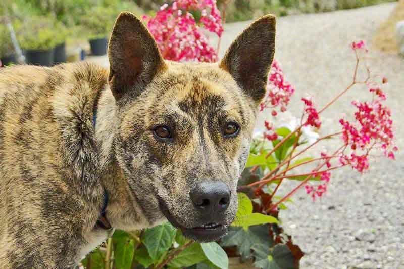 Ryukyu Inu, an Okinawa dog