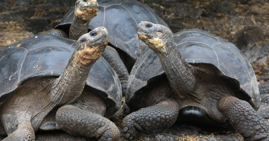 Baby Tortoises Appeared In The Galapagos Islands For The First Time In A Century