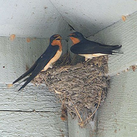 """""""Bird Poop"""" of north Texas: Leave Swallows' mud nests alone"""