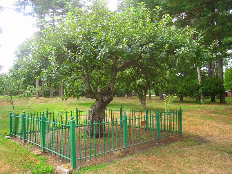 Macieira de Isaac Newton