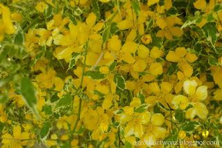 Złotlin japoński 'Picta'- Kerria japonica 'Picta'