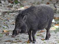 Tips Menghindari Babi Hutan di Gunung