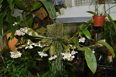 Dendrobium platygastrium care and culture