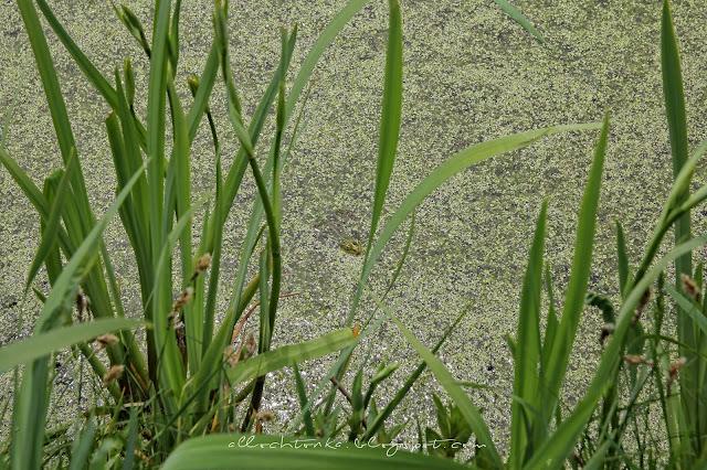 Tysiące żab kumkają w stawie przed opactwem Jumieges