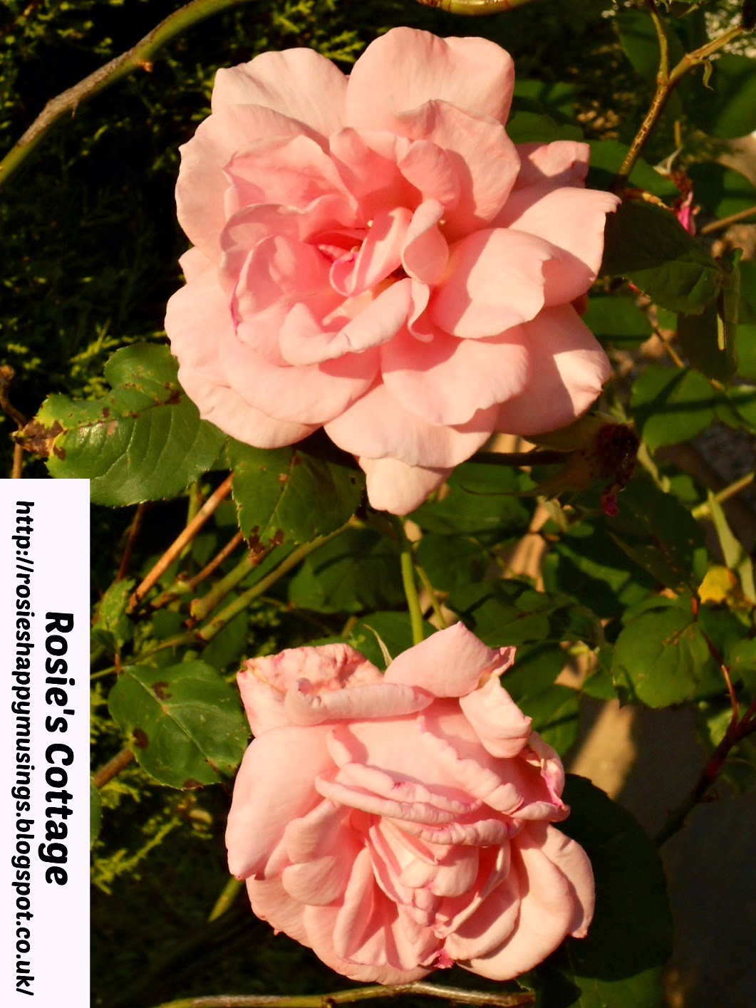 free rose printable photograph in palest pink