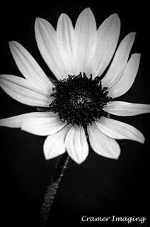 Professional quality black and white nature photograph of a wild sunflower head in Pocatello, Bannock, Idaho by Cramer Imaging