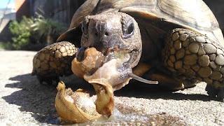 tortuga caracol