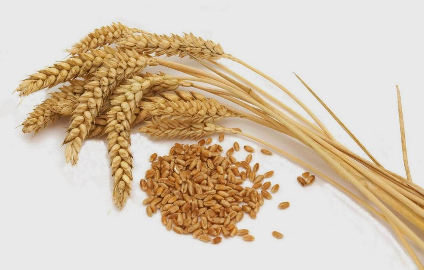 Apakah Hukum Membayar Fidyah Dengan Uang? dengan gandum