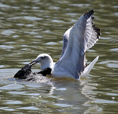 Gaviota patiamarilla matando una focha