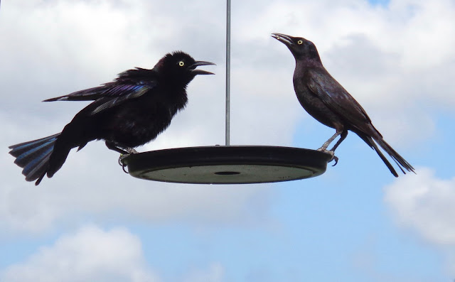 Two grackles eating seeds at a birdfeeder