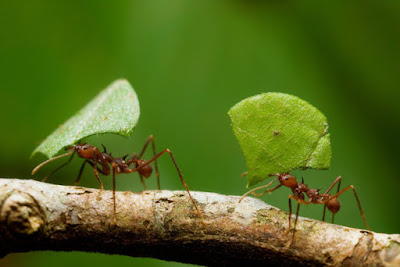 Leafcutter Ants photo