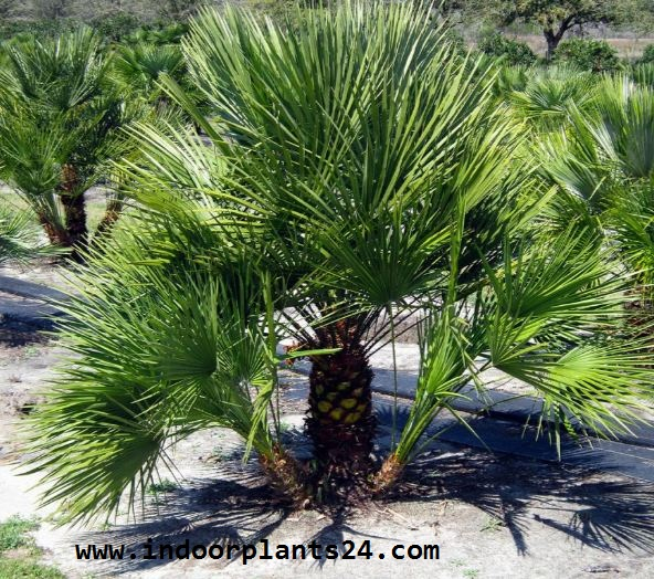 Palmae European Fan Palm Plant