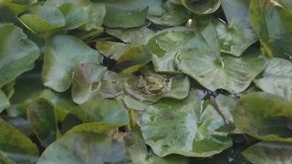 el cuento de la rana