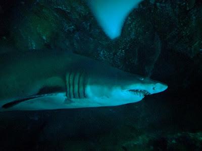 Акула в аквариуме в Дубае