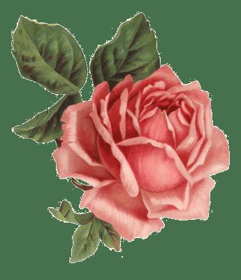 Vintage Pink Roses Www Picturesso Com