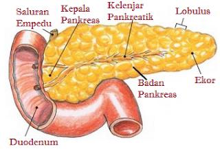 Pengertian Pankreas, Fungsi, & Strukturnya
