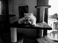 Ras Kucing Dengan Harga Termahal Di Dunia.