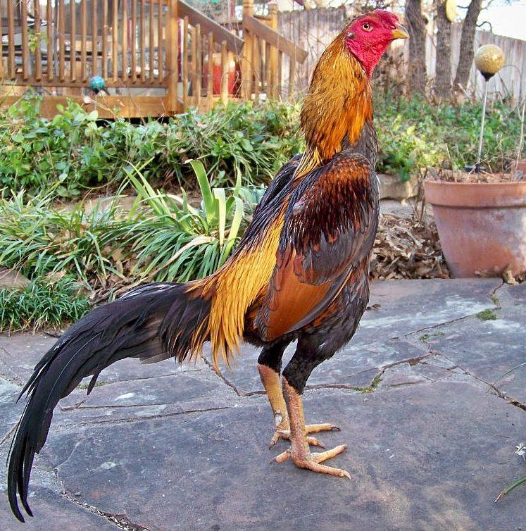 7 Manfaat Penting Jagung Bagi Ayam Aduan Yang Harus Diketahui