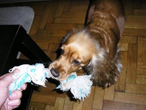 εκπαίδευση σκύλων με παιχνίδια - τράβα