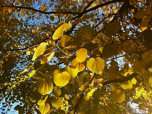 Golden-Autumn-Leaves-November-2011