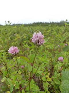 Trèfle des prés - Trifolium pratense - Trèfle violet