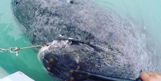 Ψάρεψαν καρχαρία 512 ετών! Το γηραιότερο εν ζωή πλάσμα στον κόσμο