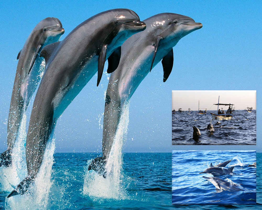 Bali Vacation Dolphin Watchin Tour