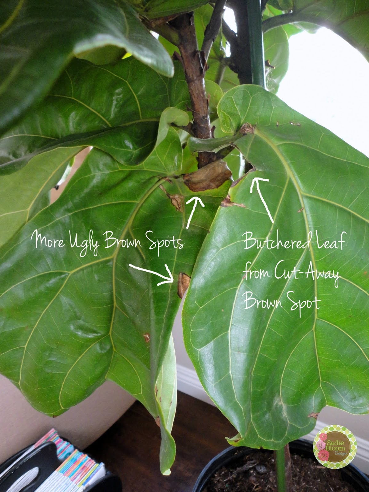 More Sadness From My Fiddle Leaf Fig