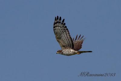 African cuckoo Hawk