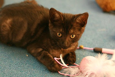 Storm kitten playing with feathers