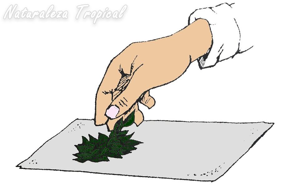 Acumulación de hojas medicinales en un trozo de tela