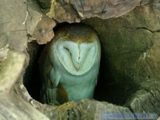 Effraie des clochers - Chouette effraie - Dame blanche - Tyto alba
