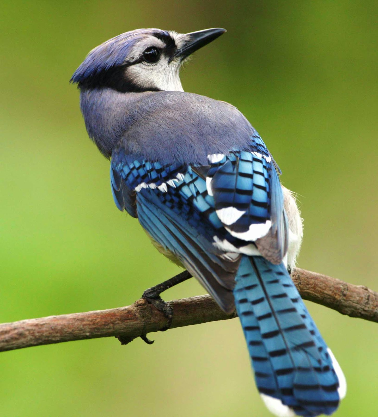 Wild Birds Unlimited: A Closer Look At The Blue Jay