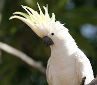 Cacatua das molucas   (Cacatua moluccensis)