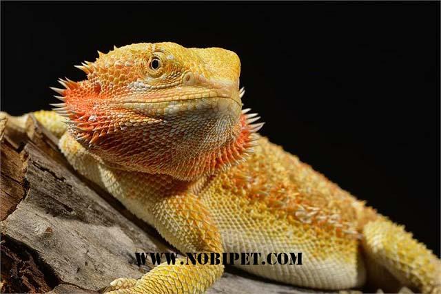 Ban-bo-sat-canh-reptiles-rong-uc-bearded-dragon-gia-re-tai-da-nang