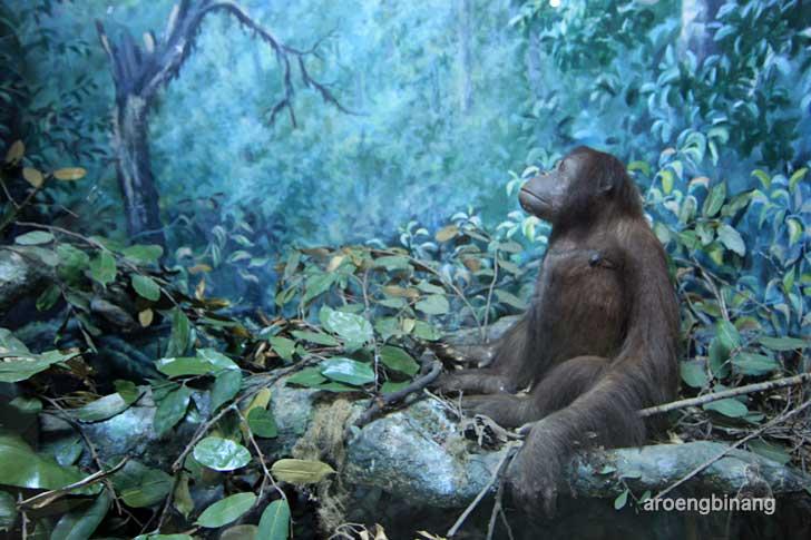 orangutan mawas museum zoologi bogor