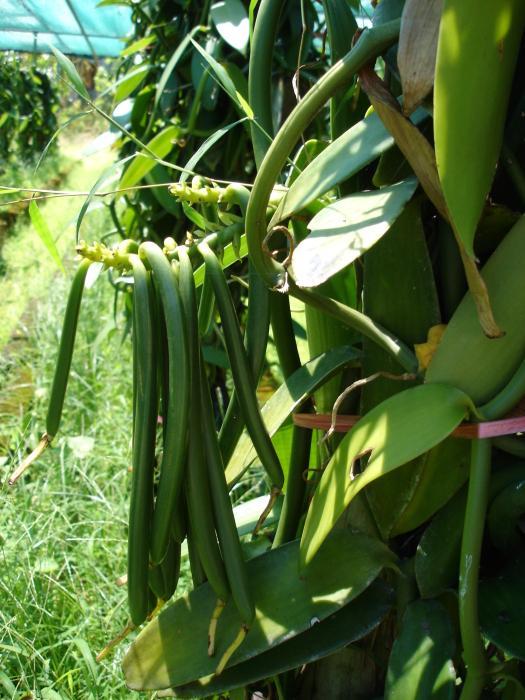 2dff08914 يعتبر الصنف الاساسى من محصول الفانيليا يتبع صنف Vanilla planifolia والتى  اصلها يرجع الى المكسيك ايضا ولكن حاليا يتم زراعتها بشكل واسع ومنتشر فى كل  مكان ...