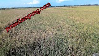 cara menanam padi gogo lengkap