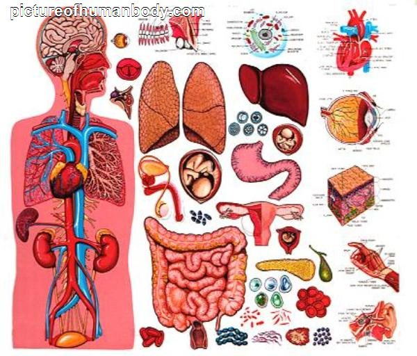 Body organ locations diagram
