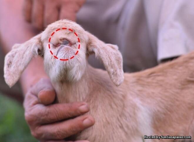 Tuah Jabang anak kambing bermata satu
