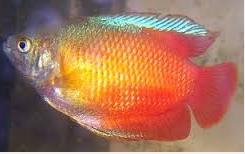 Ikan Hias Gurami Madu (Honey gourami) indah