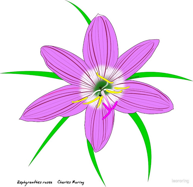 Rain Lily (Zephyranthes rosea)