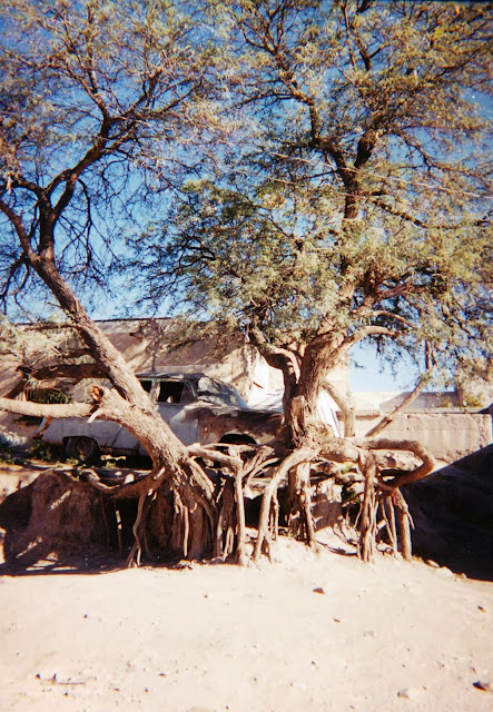 Deep Roots In Native Youth: Xtremehorticulture Of The Desert: Mesquite Bushes Can Be