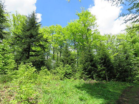 Wiosenna zieleń lasu.