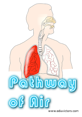 CBSE Class 10 - Science - Life Processes - Pathway of Air  (#cbseNotes)