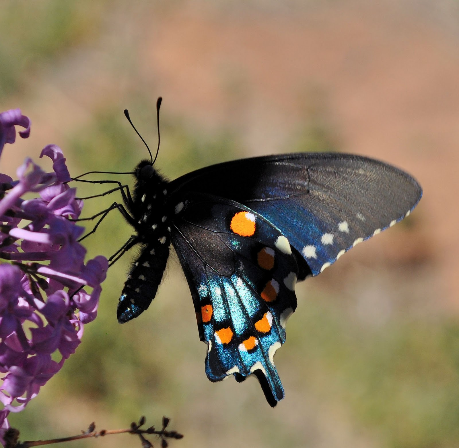 John's Photos: Blue Swallow Tail Butterfly